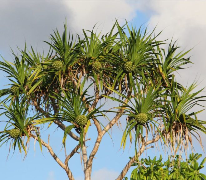 Urgent Blog Update – Pineapples Do NOT Grow On Trees